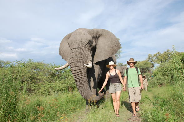 Walking with elephants in Botswana.