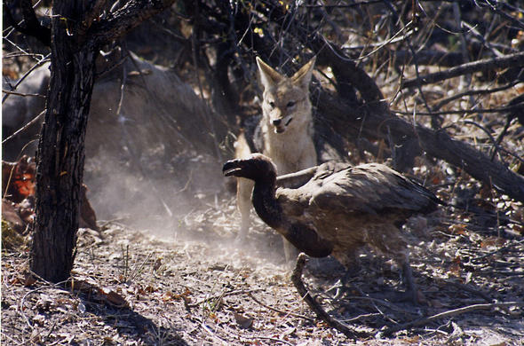 Confrontation. Blackk-backed jackal and vulture. Lee Kemp