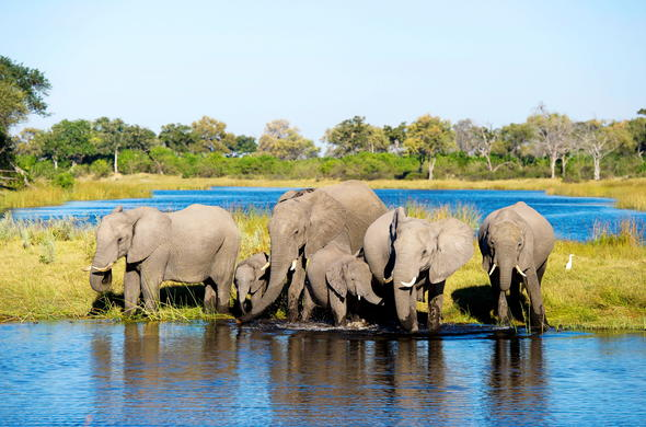 Botswana elephant herd drinking water.