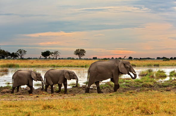 Elephant family walking on the plains of Linyanti.