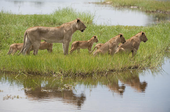 Pride of lions in Botswana.