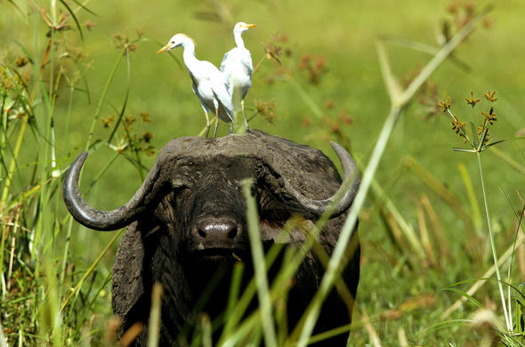Buffalo and Herons. Michael Poliza