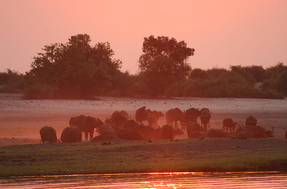 Buffalos, dust and sunset in Chobe. Lee Kemp
