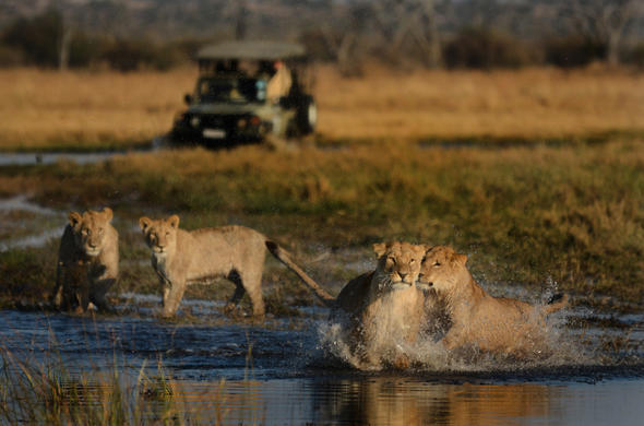 Lion encounter near camp Savuti