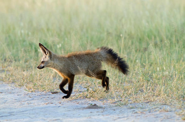 Cape Fox on the trot