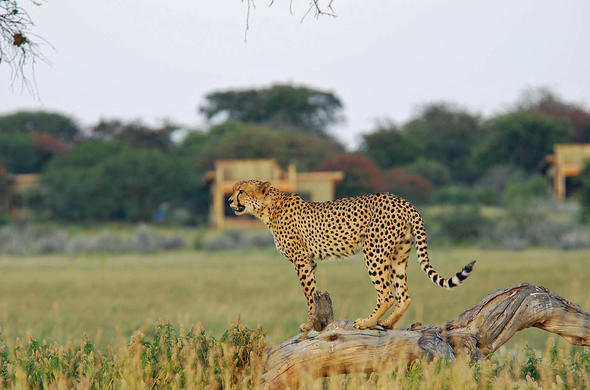 Cheeta at Kalahari Plains Camp