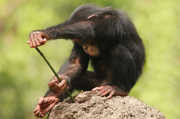 Chimp using a stick to catch termites