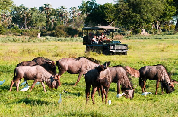 Wildebeest sightings during an open safari game drive in Botswana.