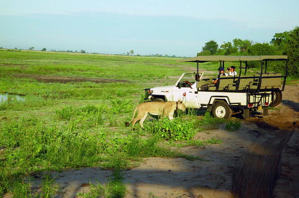 Spotting a lion during a game drive in the Chobe National Park.