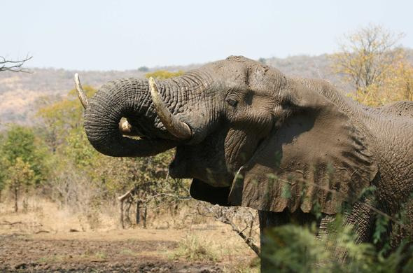 Elephant feeding. Simon Bloomhill