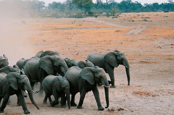 Elephants race to the river. Ian Michler