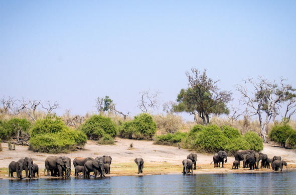 Elephants drinking water on the banks of the Chobe River.