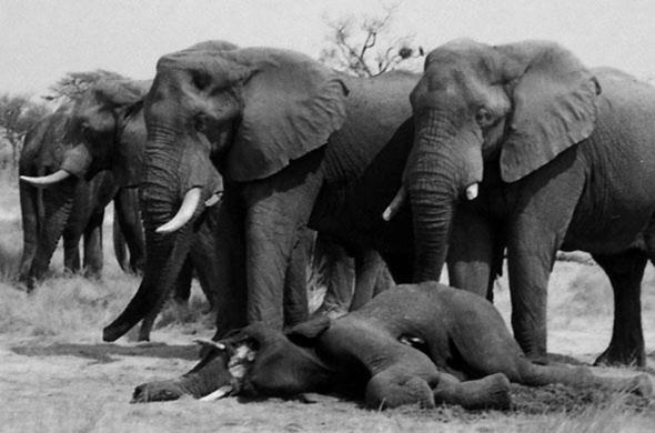 Elephants Mourning. Leigh Kemp