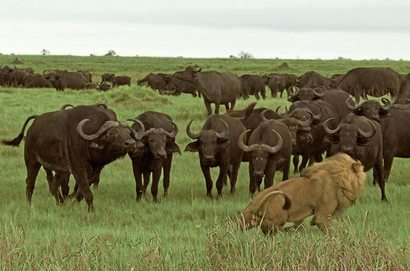 Buffalo confront a lion at Duba Plains