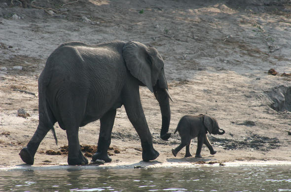 Female Elephant and Calf. Franco