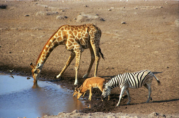 Giraffe and Zebra at a waterhole in Botswana.