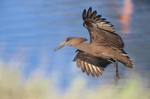 Hamerkop in flight. Camp Moremi. Gerald Hoberman