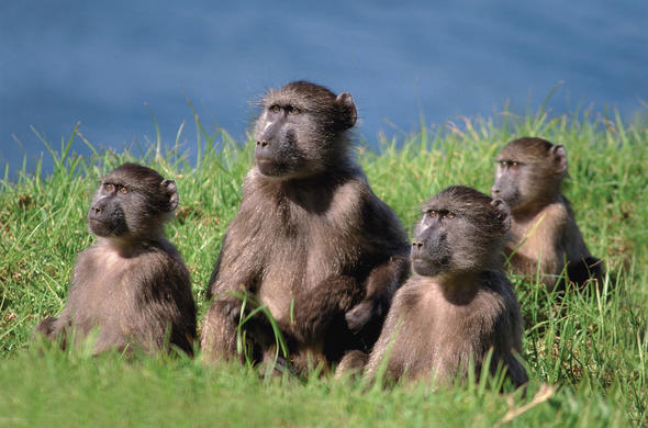Baboons. Fairly intelligent