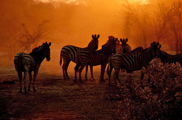 Zebras in the dusty sunset near Le Roo la Tau