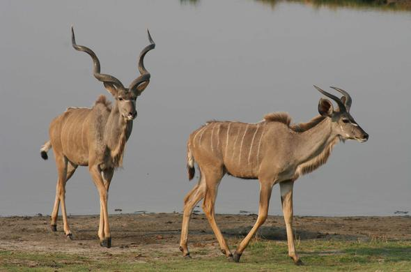 Kudu pair. Michael English
