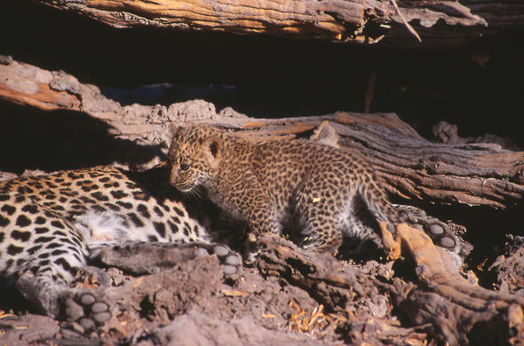 Leopard with cub.Lee Kemp