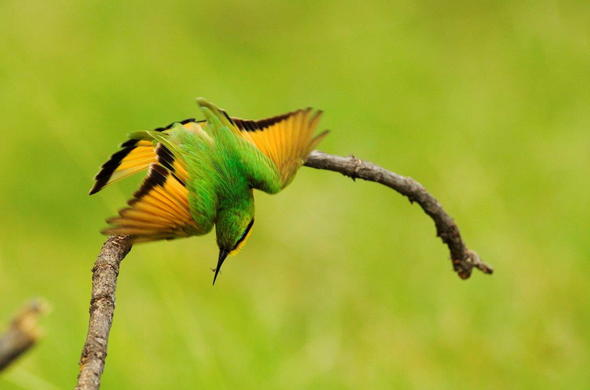 Bee Eater Bird in Botswana.