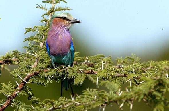 Lilac-breasted roller. Michael Poliza