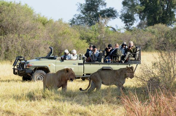 Lion Encounter near Labala Camp