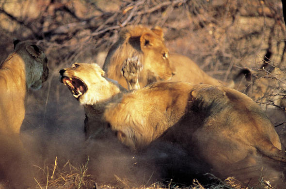 Lions fighting. Mark Tennant