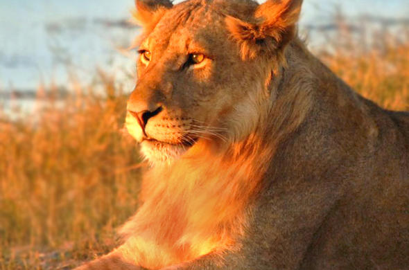 Lioness at Sunset.