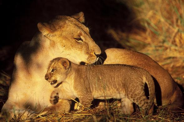 Lioness with cub.. Graham Hancock