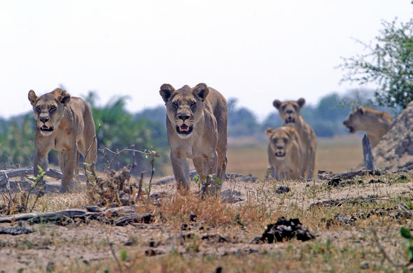 Lionesses of Linyanti