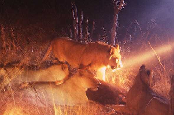 Lions in the spot-light at Moremi. Lee Kemp
