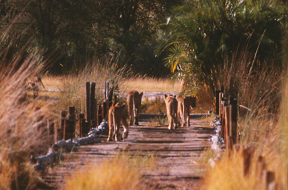 Lions on the Bridge into Moremi. Lee Kemp