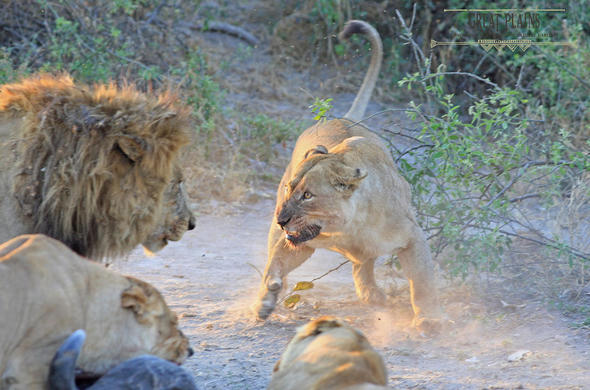 Lions fighting near Duba Plains Camp