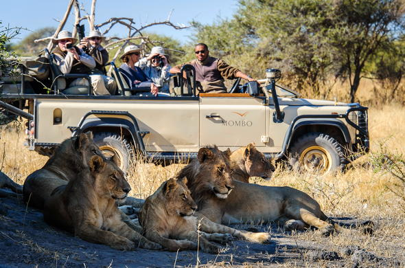 Spotting a pride of lions during a game drive in Moremi Game Reserve.