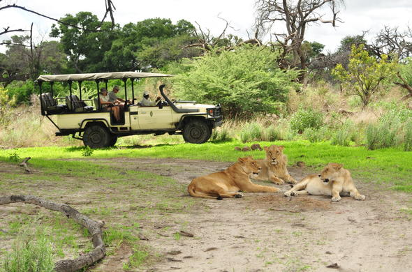 Spotting lions during a game drive in the Moremi Game Reserve in the Okango Delta.