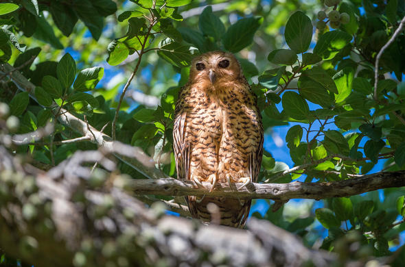 Pels Fishing Owl in Botswana.