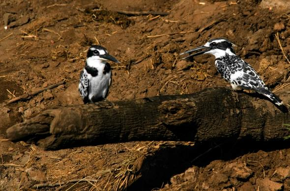 Pied kingfishers. Simon Bloomhill