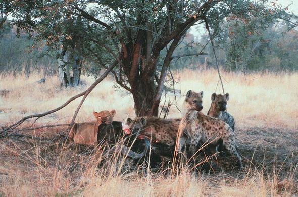 The Predator Chain, Botswana Wildlife Guide