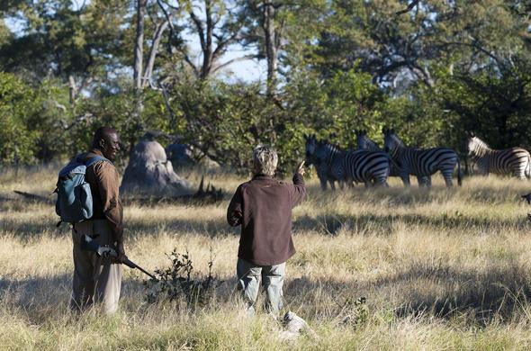 Spotting zebra during a walking safari at Savuti Camp.