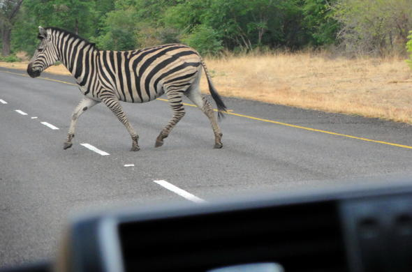 Zebra crossing road during a self-drive Botswana safari.