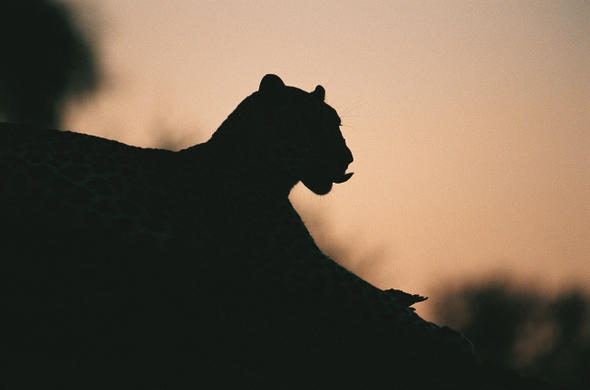 Leopard at dusk. Ian Michler
