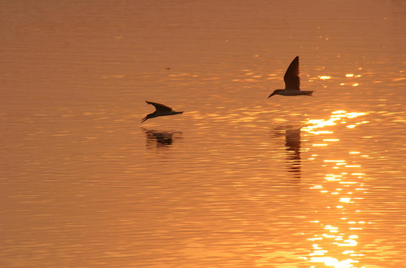 Skimmers in the sunset. Lee Kemp