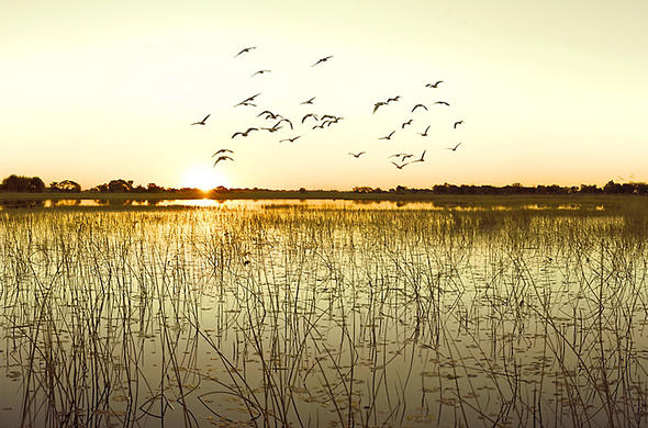Flock of birds in the sunset over the Linyanti River