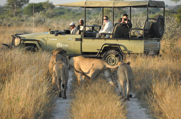 Game drive in the Central Kalahari spotting a pride of lions.
