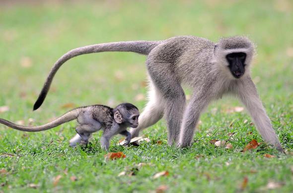 Vervet Monkey Botswana Wildlife Guide on Animals And Their Habitats