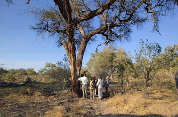 Guides walking safaris in the Moremi Game Reserve.