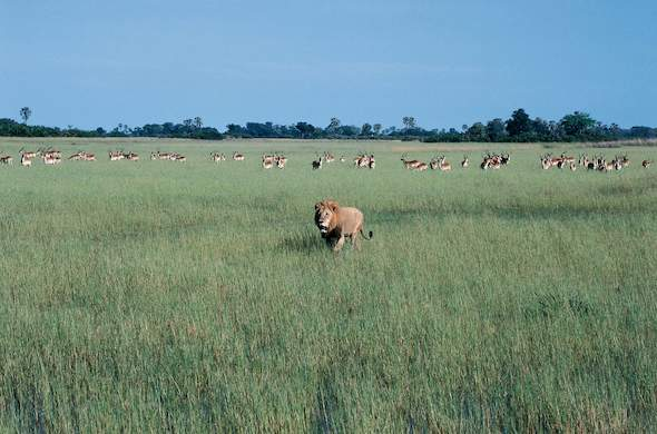 Prowling Lion and Wary Antelope near Jao Camp. Okavango. Carrie Hampton