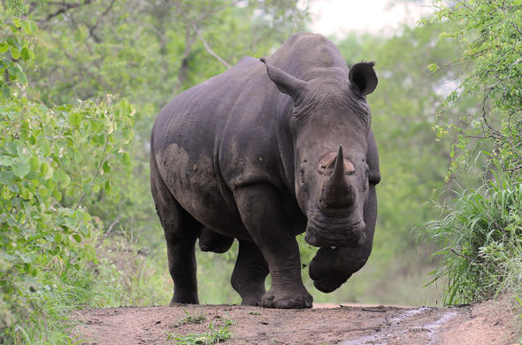 White Rhino. Graham Cooke